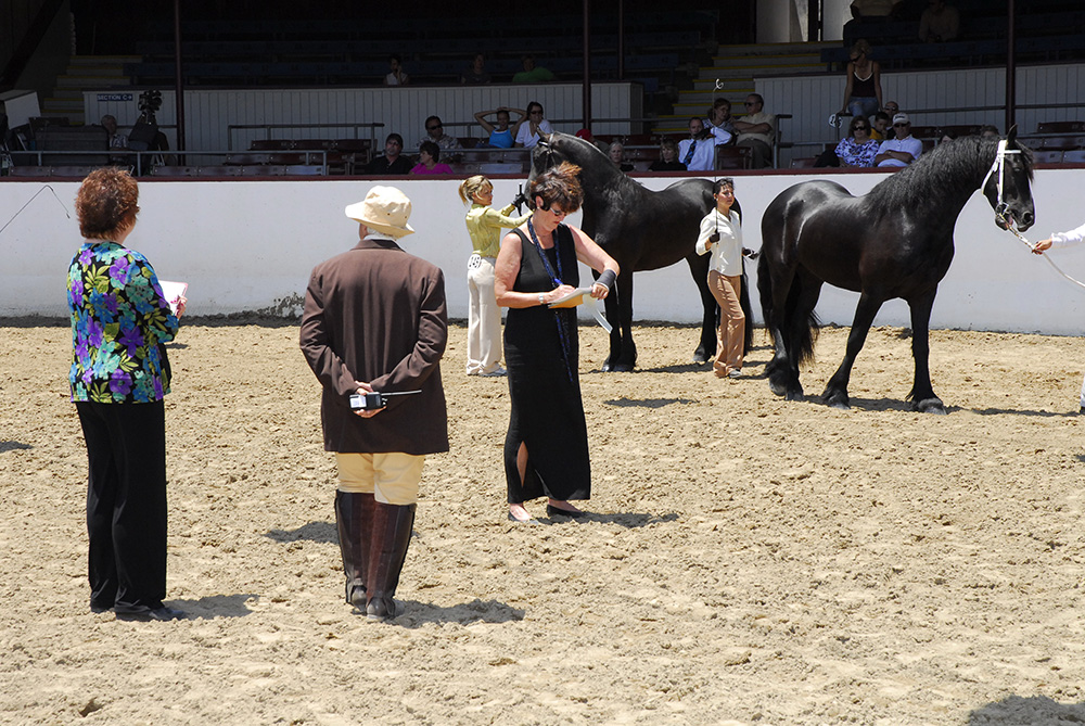 Judging-senior-Stallion-class-Regional-Friesian-Championship---SB